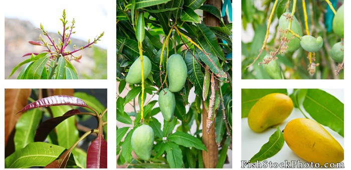 Mango: Fruit Relative to the Cashew