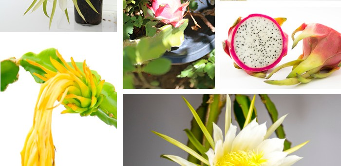 How to Eat a Dragon Fruit or Pitahaya